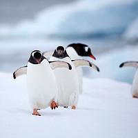 春节班期:南极半岛+智利深度自然探索19日小团游