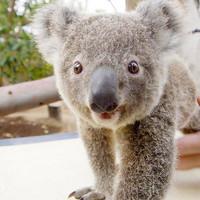 澳大利亚 布里斯班 龙柏考拉保护区门票