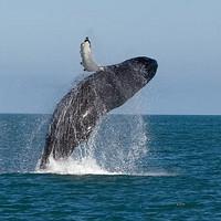 当地玩乐:冬季限定,能见率98%!日本冲绳 冬日赏鲸一日游