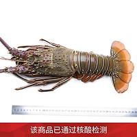 鲜博汇 龙虾 澳洲龙虾 澳龙大青龙 海鲜火锅 鲜活速冻 大龙虾1250/1100g