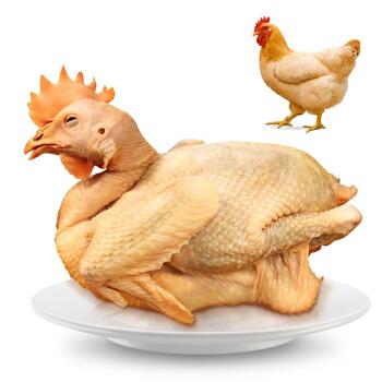 温氏 供港老母鸡 1.2kg 高品质供港鸡 农家散养土鸡 散养老母鸡 土鸡走地鸡 散养500天以上